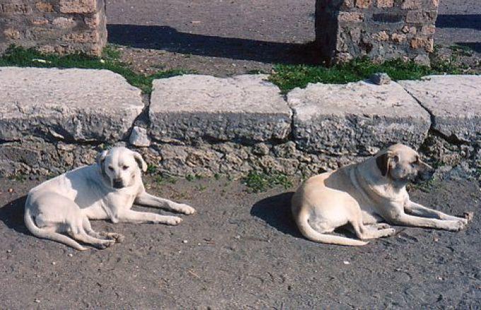 Streunernde Hunde in Pompeji (© Redaktion - Portanapoli.com)